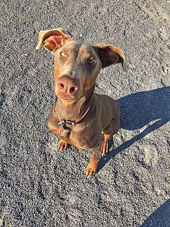 Adopt A Pet :: Hannah  - Albuquerque, NM