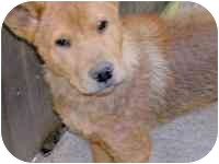 Shepherd (Unknown Type)/Chow Chow Mix Puppy for adoption in Sacramento, California - Albert
