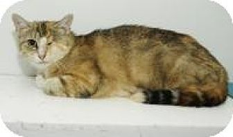 Domestic Shorthair Cat for adoption in Ashland, Ohio - Blossom