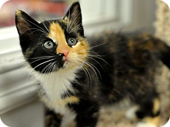 Calico Kitten for adoption in Great Falls, Montana - Delilah