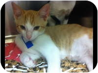 Domestic Shorthair Kitten for adoption in Tampa, Florida - Spot