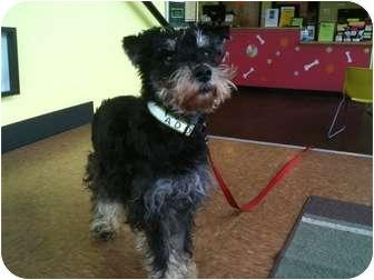 Miniature Schnauzer Dog for adoption in Portland, Oregon - Dusty