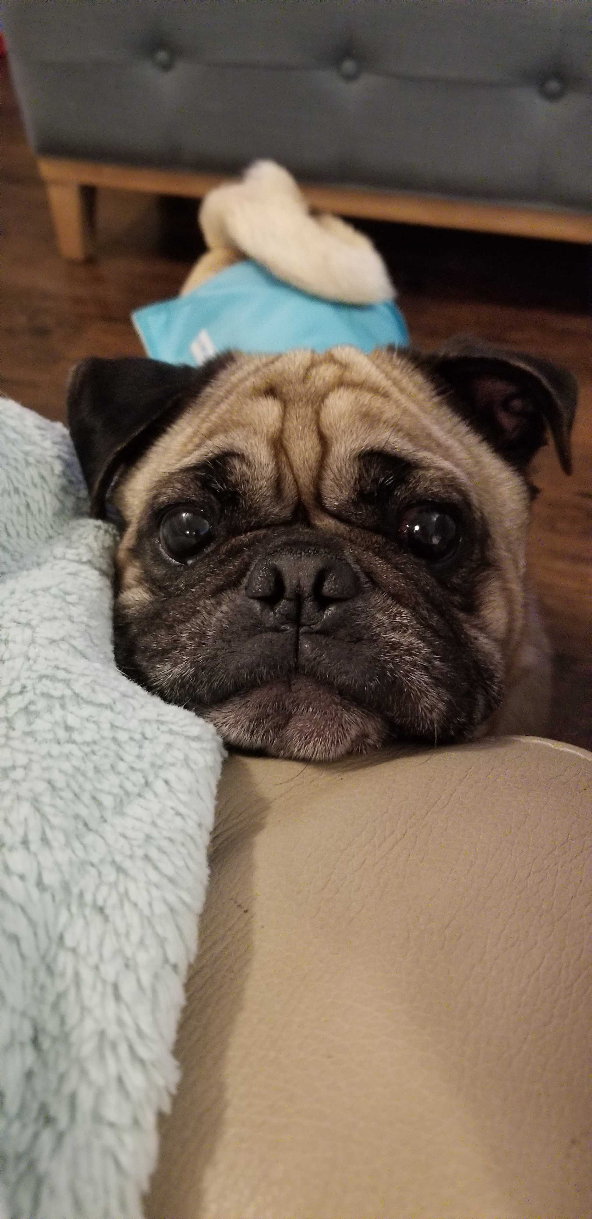 Madison, WI - Pug  Meet Jojo a Pet for Adoption