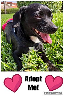 Adopt A Pet :: Perfect Mom....  - Ft Myers Beach, FL