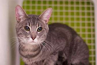 Adopt A Pet :: Kona  - Troy, MI