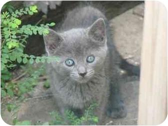 Blue Kittens For Sale : Fort lauderdale fl russian blue. meet blue kittens a pet for