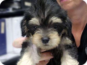 Kokomo In Shih Tzu Meet Trixie A Pet For Adoption