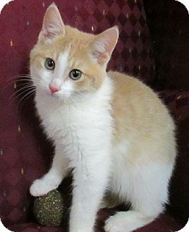 Domestic Shorthair Kitten for adoption in Lloydminster, Alberta - Pete