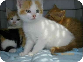 Plymouth, MA - Domestic Shorthair  Meet Kittens need foster