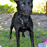 Adopt A Pet :: Little Man - Midlothian, VA