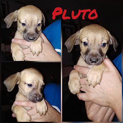 Va Beach, VA - Beagle  Meet Pluto a Pet for Adoption