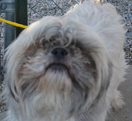 Fruit Heights Ut Shih Tzu Meet Yeti A Pet For Adoption