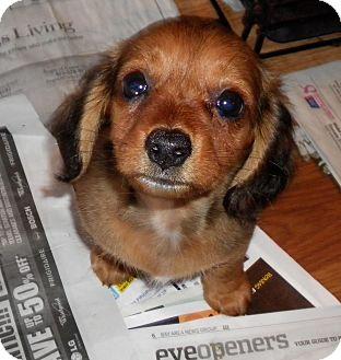 San Jose Ca Dachshund Meet Tumbles A Pet For Adoption