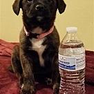 Adopt A Pet :: Bessie pup