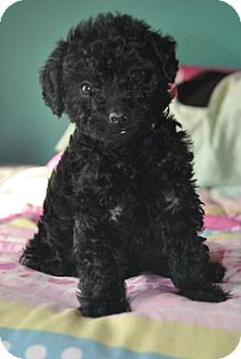 Webster Mn Poodle Toy Or Tea Cup Meet Fiona A Pet For
