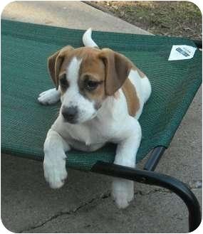 Shelburne Falls Ma Boxer Meet Tina A Pet For Adoption