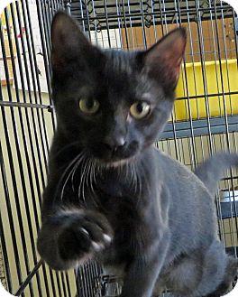 Domestic Shorthair Kitten for adoption in Middletown, New York - Lulu