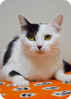 Domestic Shorthair Cat for adoption in Dublin, California - Betsy