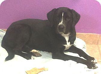 Labrador Retriever Mix Dog for adoption in Kirby, Texas - Storm