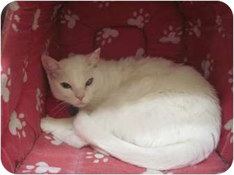 Domestic Shorthair Cat for adoption in The Colony, Texas - Clara