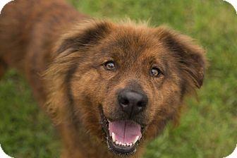 Lake Dallas, TX - Chow Chow  Meet Nestle a Pet for Adoption