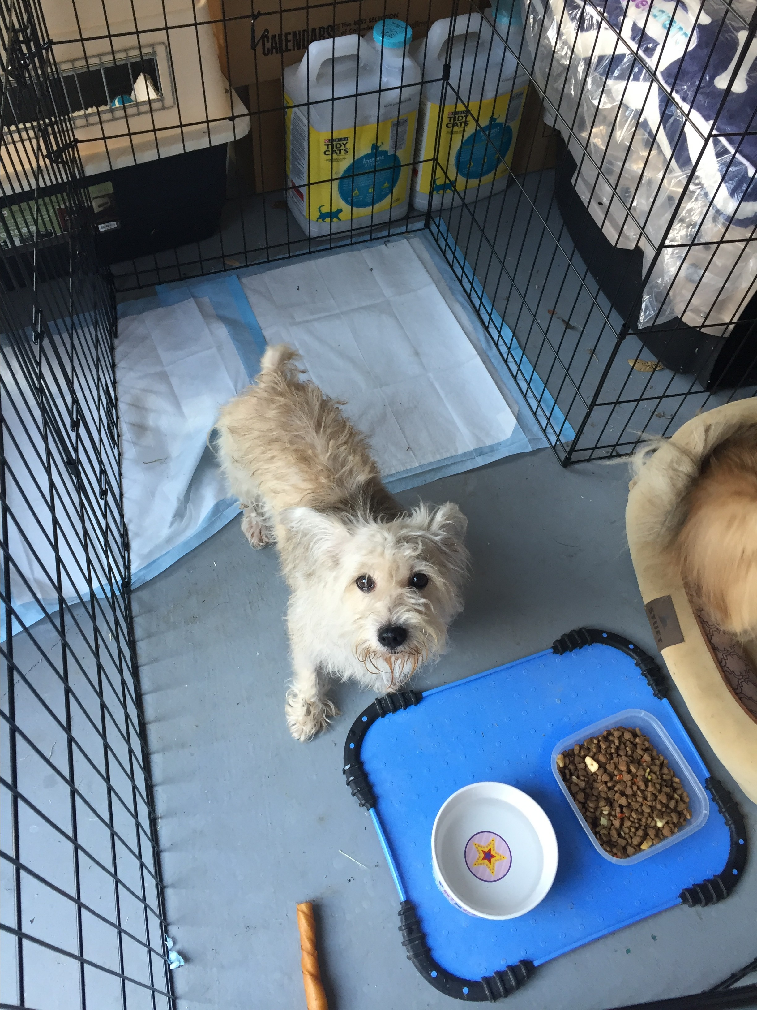 Austin, TX - Cairn Terrier. Meet Tootsie a Dog for Adoption.