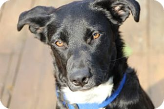 Retriever (Unknown Type) Mix Puppy for adoption in Avon, New York - Lili