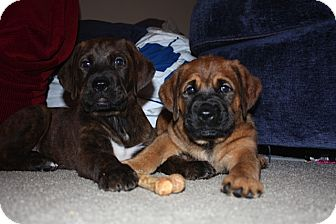 Cincinnati, OH - Bullmastiff. Meet Mastiff Mix Pups M&F a Dog for Adoption.