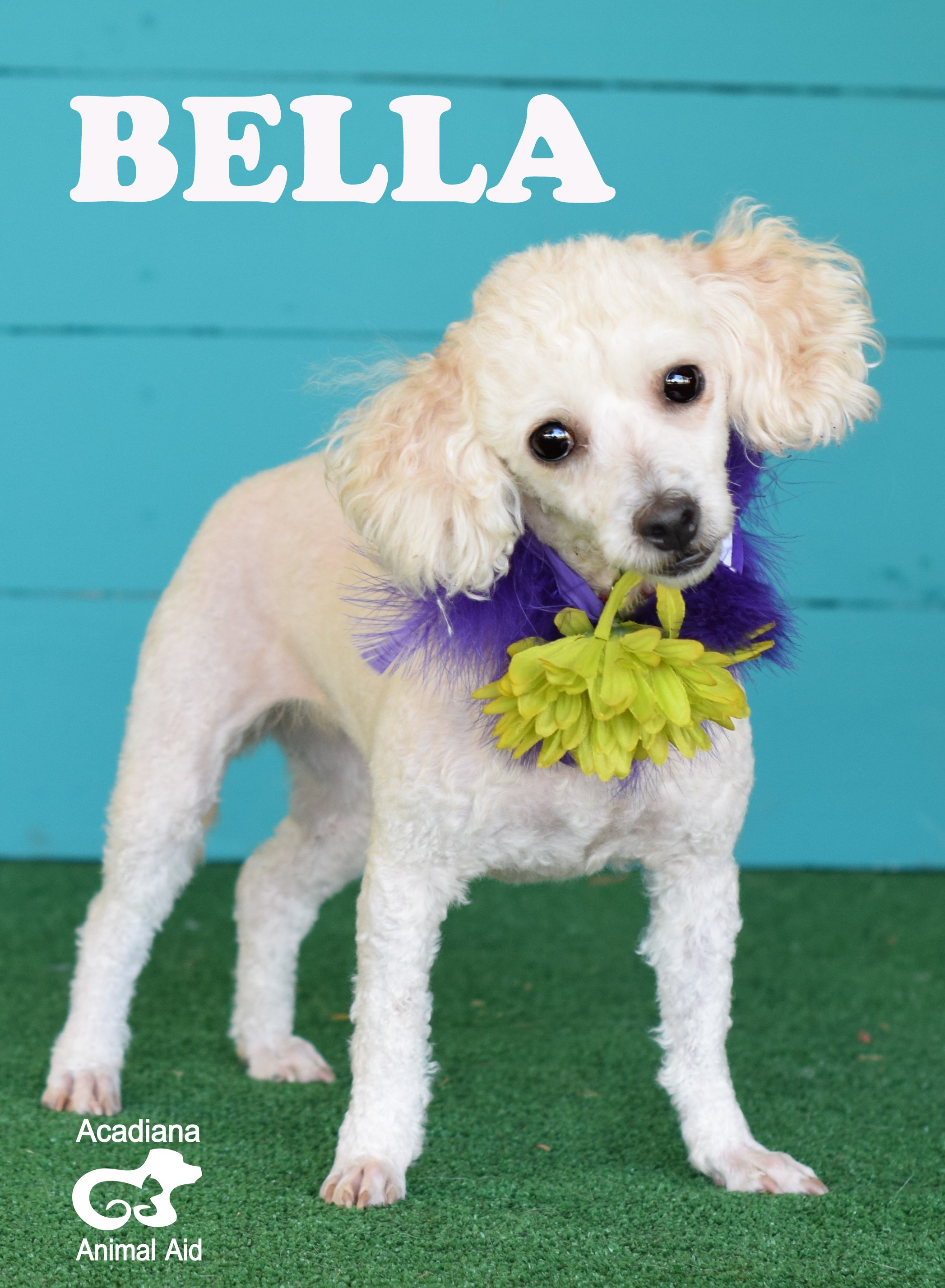 Sarasota Fl Poodle Toy Or Tea Cup Meet Bella A Pet For Adoption