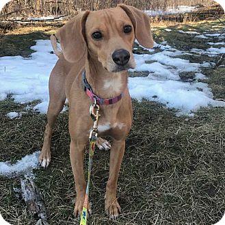 Beagle/Labrador Retriever Mix Dog for adoption in Minneapolis, Minnesota - Penny