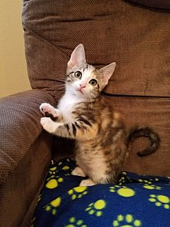 Calico Kitten for adoption in San Dimas, California - Sheba