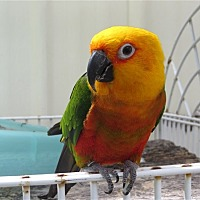 Adopt A Pet :: Squawker - Elizabeth, CO