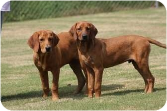 Redbone Dogs For Sale
