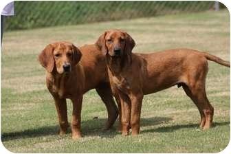 Fort Hunter Ny Redbone Coonhound Meet Elvis A Pet For Adoption