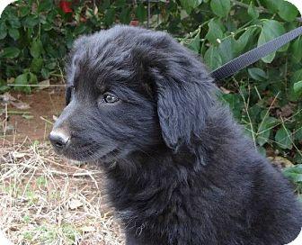 Newfie Mix Rescue Goldenacresdogs Com