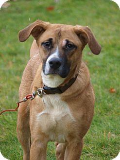 Boxer/Labrador Retriever Mix Puppy for adoption in Toronto/Etobicoke/GTA, Ontario - Flash - Boxer mix