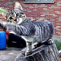 Adopt A Pet :: Layla - Fenton, MO
