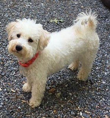 Atlanta Ga Cockapoo Meet Zoey A Pet For Adoption