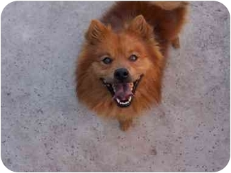 chow chow pomeranian mix sacramento ca chow chow meet chipper a pet for adoption 4996