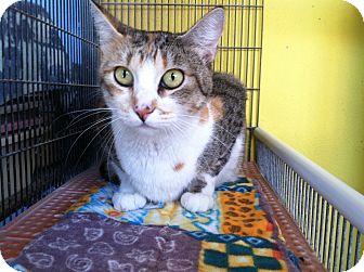 Domestic Shorthair Cat for adoption in Newport Beach, California - Apple