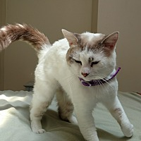 Persian cat rescue north west