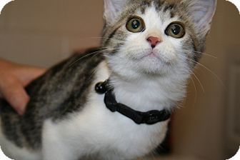 American Shorthair Kitten for adoption in Plainfield, Connecticut - Cola