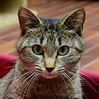 Domestic Shorthair Cat for adoption in Des Moines, Iowa - Hillary