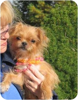 New York Ny Yorkie Yorkshire Terrier Meet Olivia A Pet For