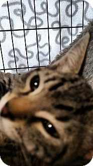 Domestic Shorthair Cat for adoption in Yuba City, California - Honolula