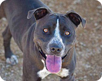 American Staffordshire Terrier Mix Dog for adoption in Sierra Vista, Arizona - Tractor