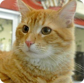 Domestic Mediumhair Cat for adoption in white settlment, Texas - Felix