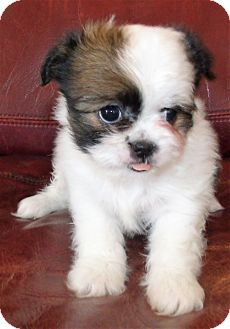 Shih Tzu Mix Puppy for adoption in Corona, California - ROXY