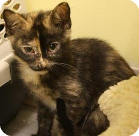Domestic Shorthair Kitten for adoption in West Des Moines, Iowa - Shiva
