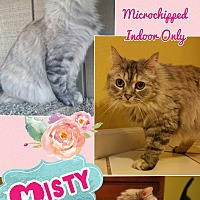 Domestic Longhair Cat for adoption in Madera, California - Misty
